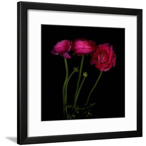 Trois Belles - Ranunculus-Magda Indigo-Framed Art Print