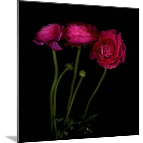 Trois Belles - Ranunculus-Magda Indigo-Mounted Photographic Print
