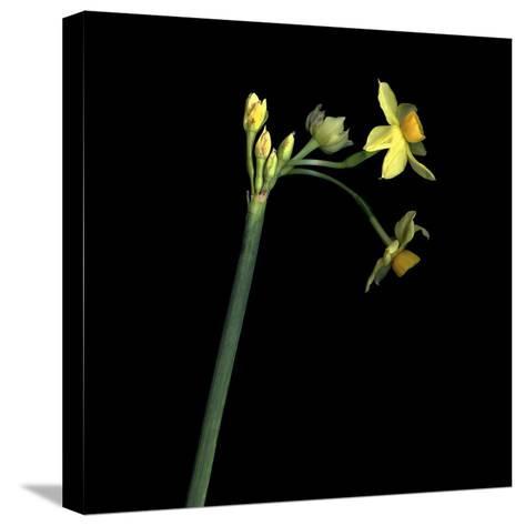 Daffodil-Magda Indigo-Stretched Canvas Print