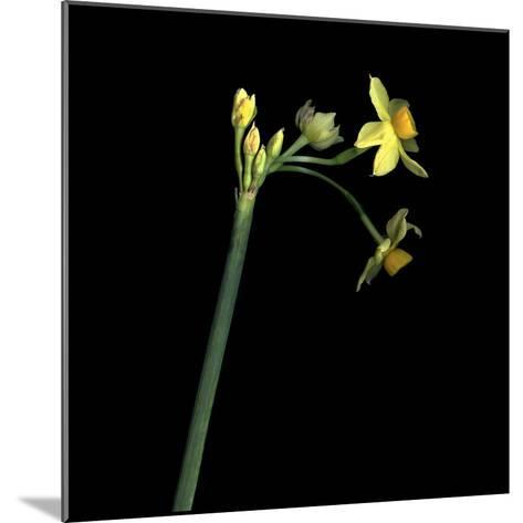 Daffodil-Magda Indigo-Mounted Photographic Print