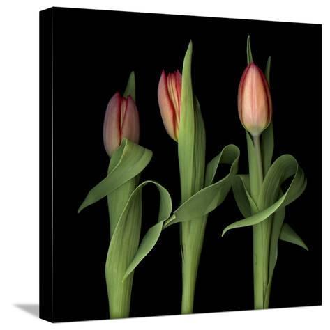 Orange Tulips-Magda Indigo-Stretched Canvas Print