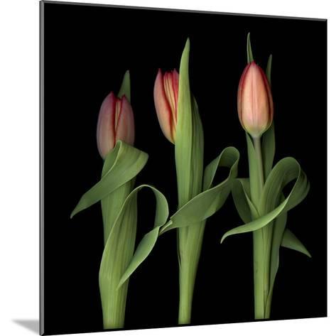 Orange Tulips-Magda Indigo-Mounted Photographic Print