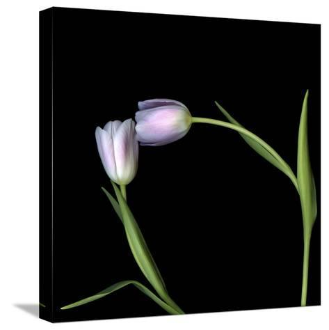 Pale Pink Tulip-Magda Indigo-Stretched Canvas Print