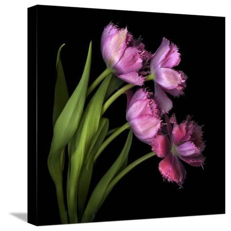 Pink Tulips 2-Magda Indigo-Stretched Canvas Print