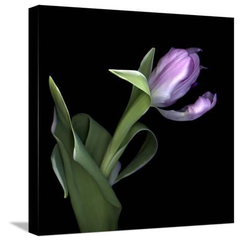 Pink Tulip 2-Magda Indigo-Stretched Canvas Print