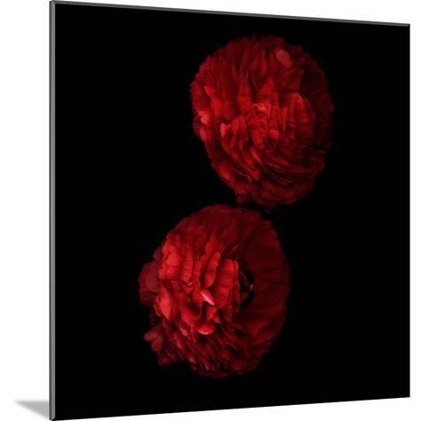 Red And More Red - Ranunculus-Magda Indigo-Mounted Photographic Print