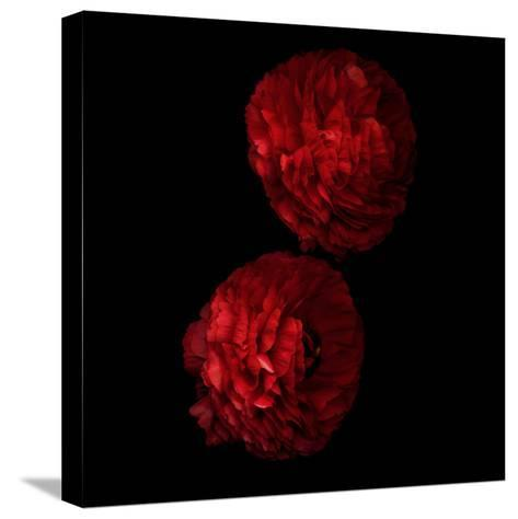 Red And More Red - Ranunculus-Magda Indigo-Stretched Canvas Print