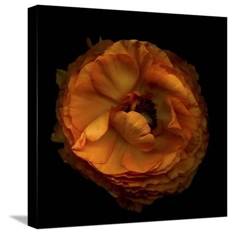 Ruffles - Ranunculus-Magda Indigo-Stretched Canvas Print