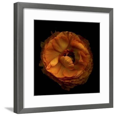 Ruffles - Ranunculus-Magda Indigo-Framed Art Print