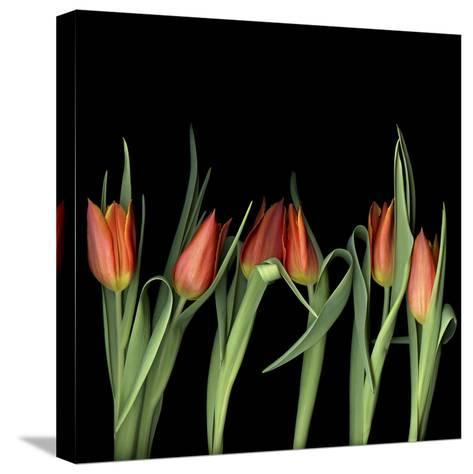 Red Tulips 8-Magda Indigo-Stretched Canvas Print
