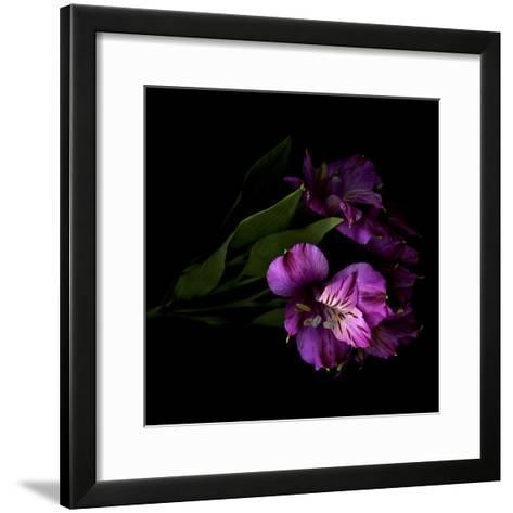Royalty - Alstroemeria-Magda Indigo-Framed Art Print