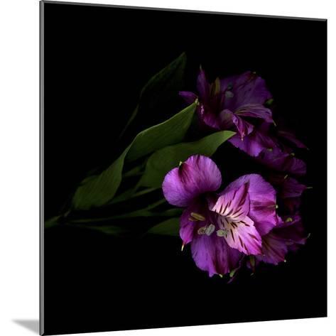 Royalty - Alstroemeria-Magda Indigo-Mounted Photographic Print