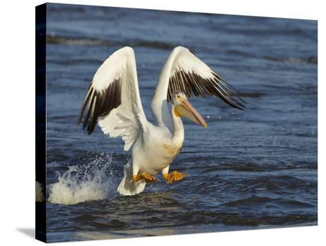 Pelican GIO-Galloimages Online-Stretched Canvas Print