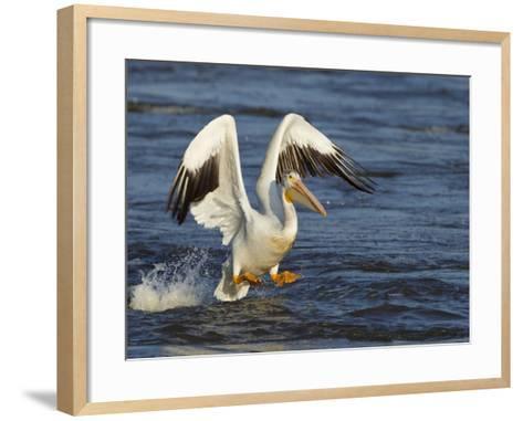 Pelican GIO-Galloimages Online-Framed Art Print