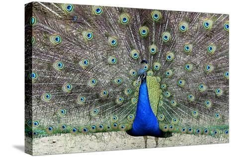 Peacock 1-Galloimages Online-Stretched Canvas Print