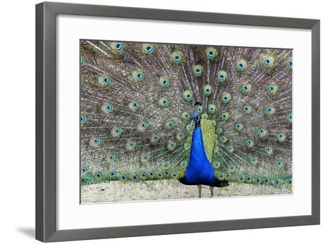 Peacock 1-Galloimages Online-Framed Art Print