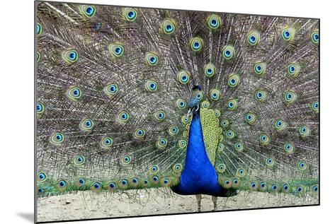 Peacock 1-Galloimages Online-Mounted Photographic Print