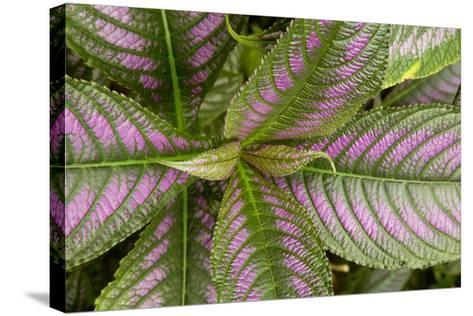 Persian Shield Leaves, Ann Arbor, Michigan '13-Monte Nagler-Stretched Canvas Print