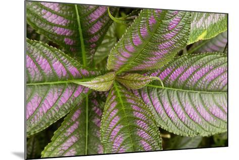 Persian Shield Leaves, Ann Arbor, Michigan '13-Monte Nagler-Mounted Photographic Print