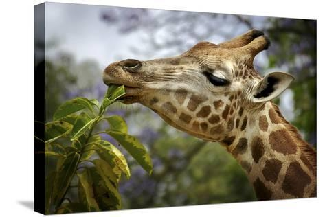 Giraffe-SD Smart-Stretched Canvas Print