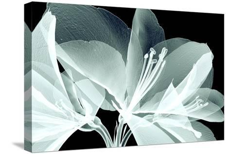 Xray Image of a Flower Isolated on Black , the Amaryllis- posteriori-Stretched Canvas Print