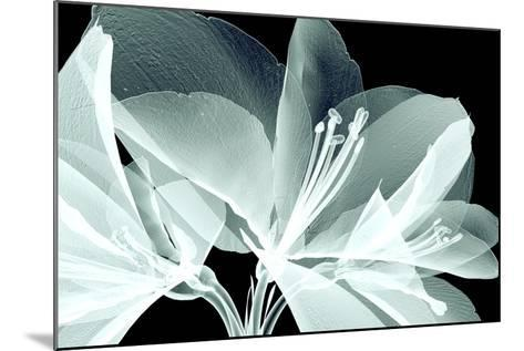 Xray Image of a Flower Isolated on Black , the Amaryllis- posteriori-Mounted Art Print