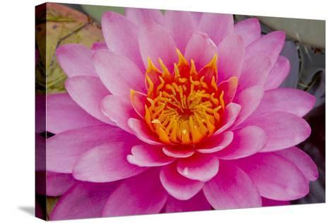 Lily closeup-Charles Bowman-Stretched Canvas Print