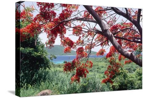 Flamboyan Tree On Culebra, Puerto Rico-George Oze-Stretched Canvas Print