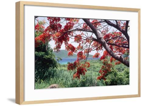 Flamboyan Tree On Culebra, Puerto Rico-George Oze-Framed Art Print