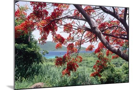 Flamboyan Tree On Culebra, Puerto Rico-George Oze-Mounted Photographic Print
