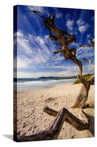 Tree on Carmel Beach, California-George Oze-Stretched Canvas Print