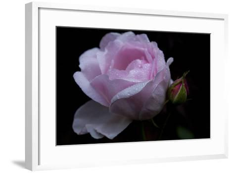 Rose pink with water droplets-Charles Bowman-Framed Art Print