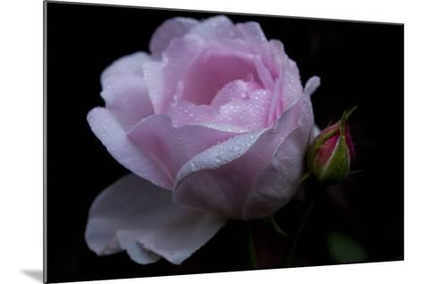 Rose pink with water droplets-Charles Bowman-Mounted Photographic Print