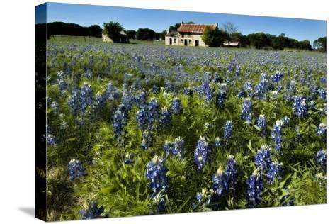 Bluebonnets 6-John Gusky-Stretched Canvas Print