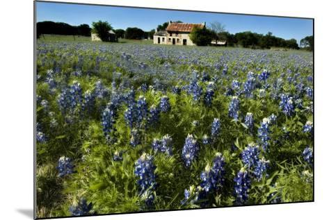 Bluebonnets 6-John Gusky-Mounted Photographic Print