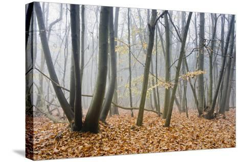 Forest autumn-Charles Bowman-Stretched Canvas Print