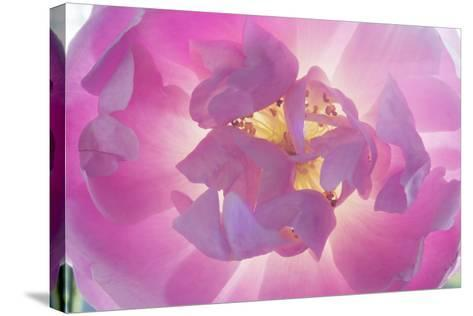 Dog Rose-Charles Bowman-Stretched Canvas Print