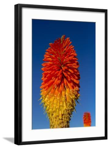 Torch Lily-Charles Bowman-Framed Art Print