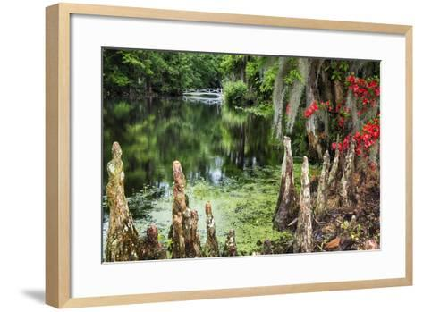 Swamp Cypress With Spanish Moss And Azalea-George Oze-Framed Art Print