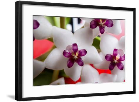 Hoya Flower 1-Charles Bowman-Framed Art Print