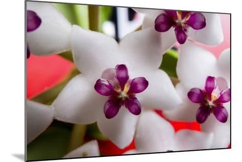 Hoya Flower 1-Charles Bowman-Mounted Photographic Print