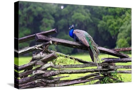 Peacock On A Fence-George Oze-Stretched Canvas Print