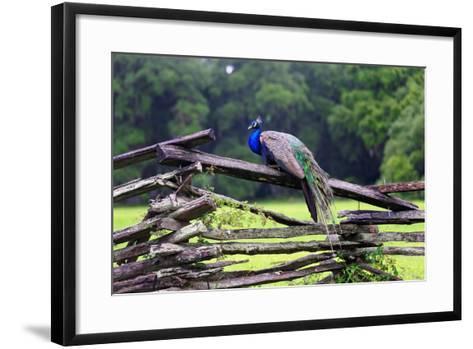Peacock On A Fence-George Oze-Framed Art Print