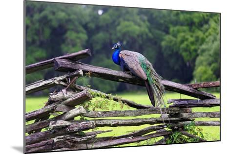 Peacock On A Fence-George Oze-Mounted Photographic Print