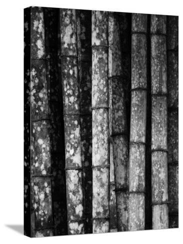 Bamboo-John Gusky-Stretched Canvas Print
