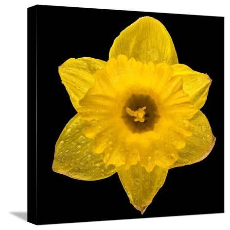 This Yellow Daffodil-Steve Gadomski-Stretched Canvas Print