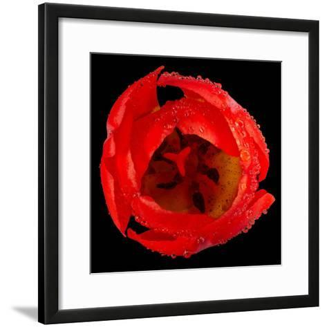 This Red Tulip-Steve Gadomski-Framed Art Print