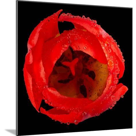 This Red Tulip-Steve Gadomski-Mounted Photographic Print