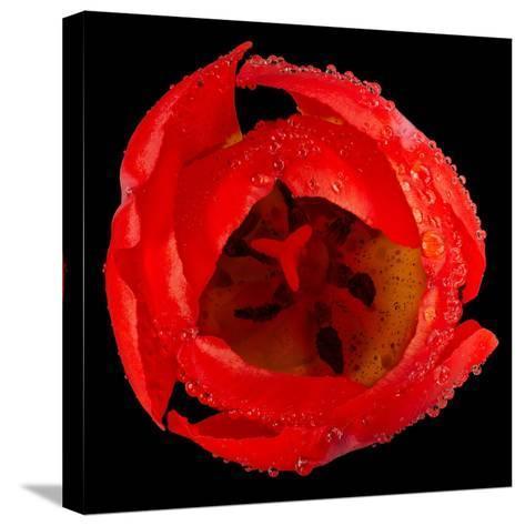 This Red Tulip-Steve Gadomski-Stretched Canvas Print