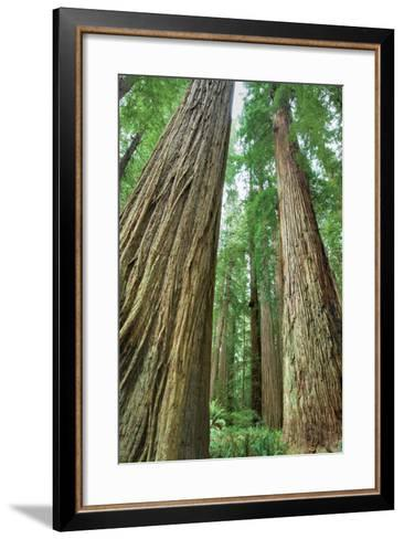 Redwoods Forest II-Alan Majchrowicz-Framed Art Print